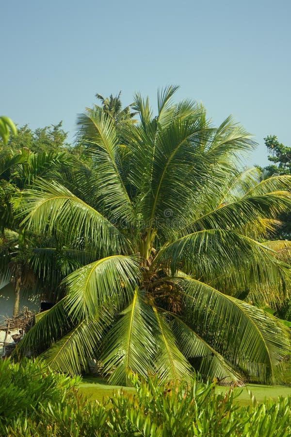 Arbre de noix de coco de luxe sur la pelouse image libre de droits