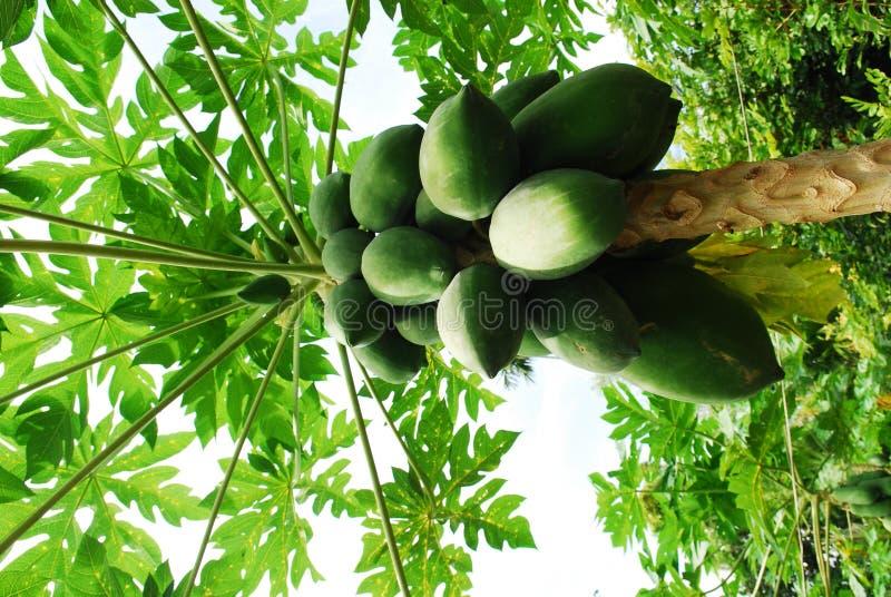 Arbre de noix de coco du vietnam photo stock image 17329382 - Arbre noix de coco ...