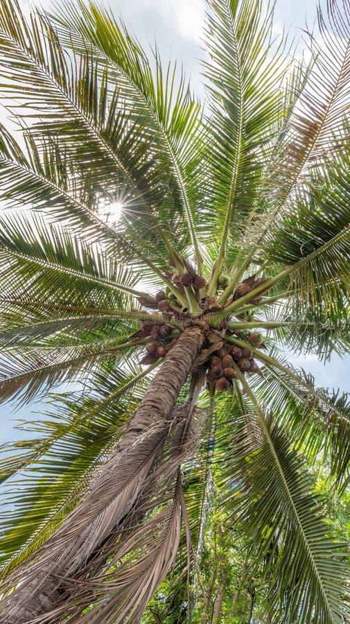 Arbre de noix de coco frais images stock