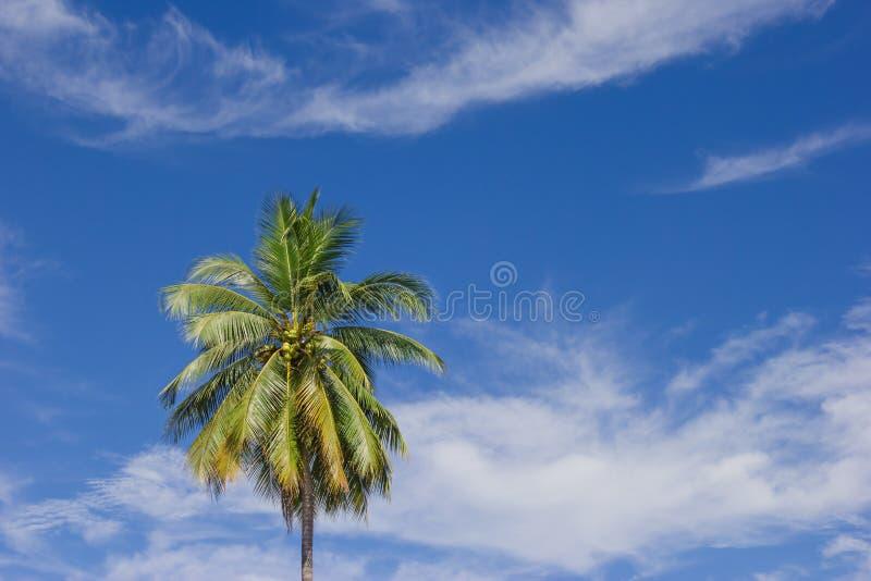 Arbre de noix de coco sur le fond de ciel bleu photographie stock libre de droits