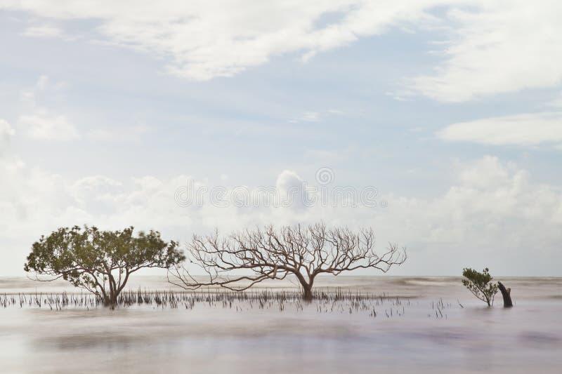 Arbre de palétuvier en nature brouillée d'abrégé sur mer image libre de droits