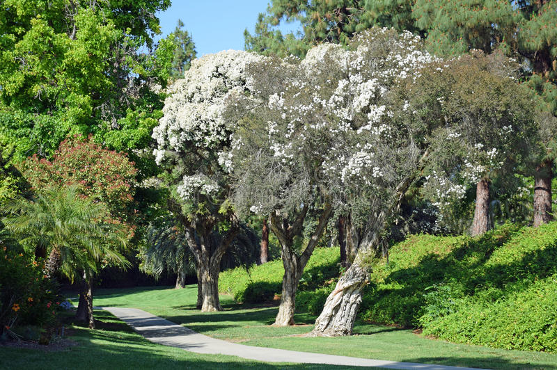 Arbre de Paperbark de lin ou linariifolia de Melaleuca en bois de Laguna, la Californie image stock