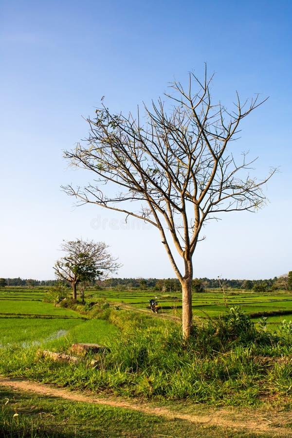 Arbre de paysage au milieu des rizi?res avec le fond naturel photo stock