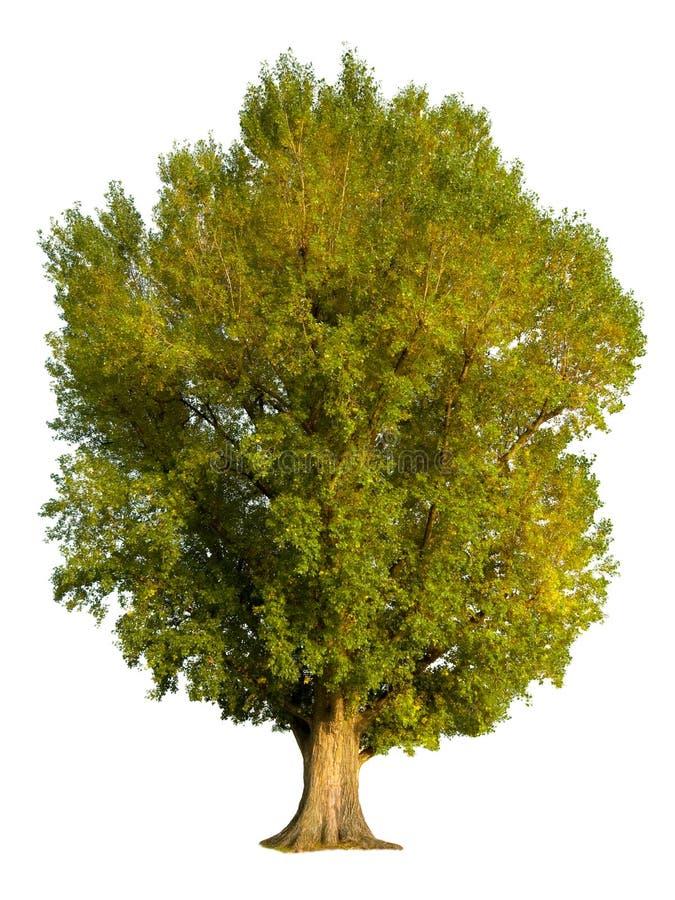 arbre de peuplier d'isolement photographie stock