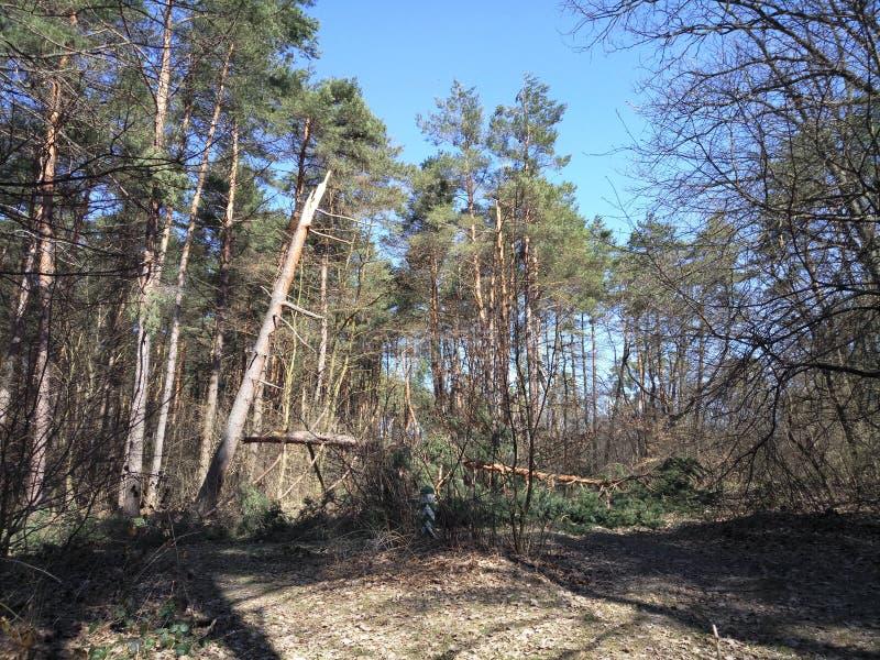 Arbre de pin cassé photographie stock libre de droits