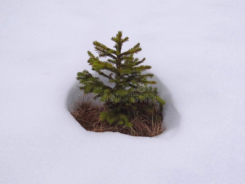 Arbre de pin dans la neige photo stock