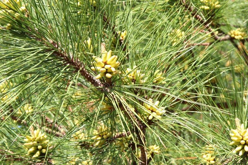 Arbre de pin de bourgeonnement photo stock