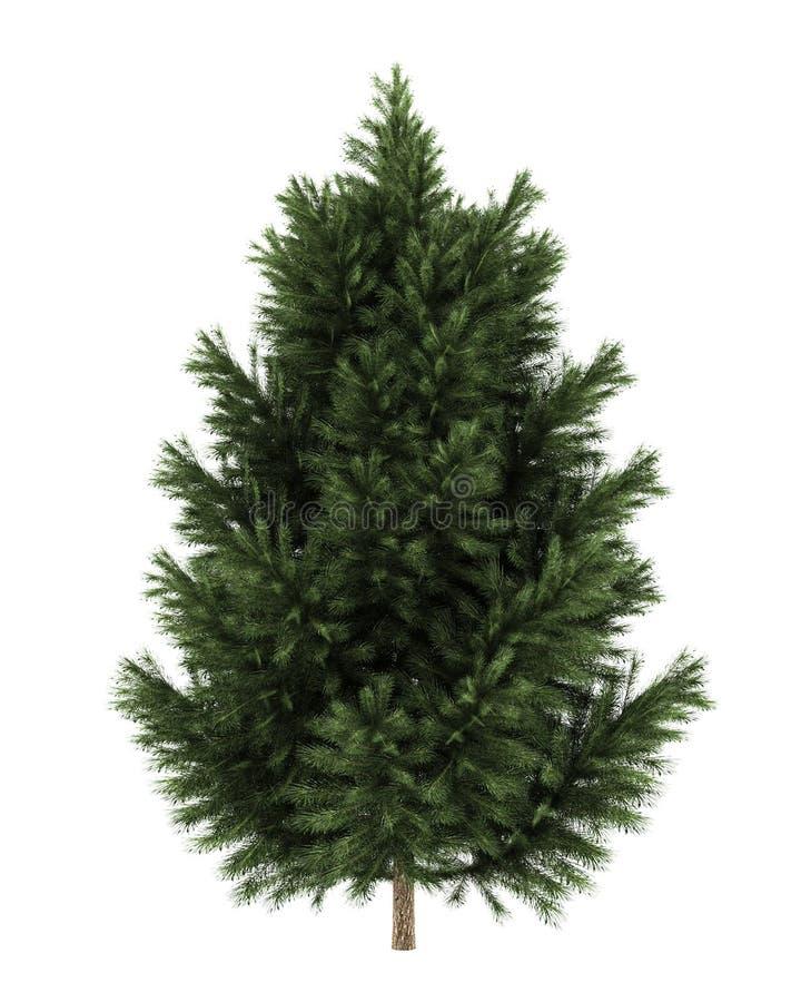 Arbre de pin noir européen d'isolement sur le blanc illustration de vecteur