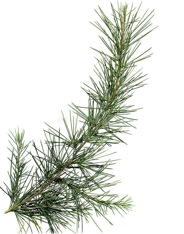 arbre de pin proche de branchement vers le haut photo libre de droits