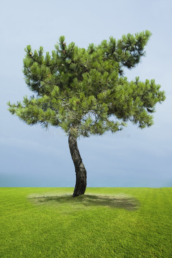 Arbre de pin simple photo libre de droits