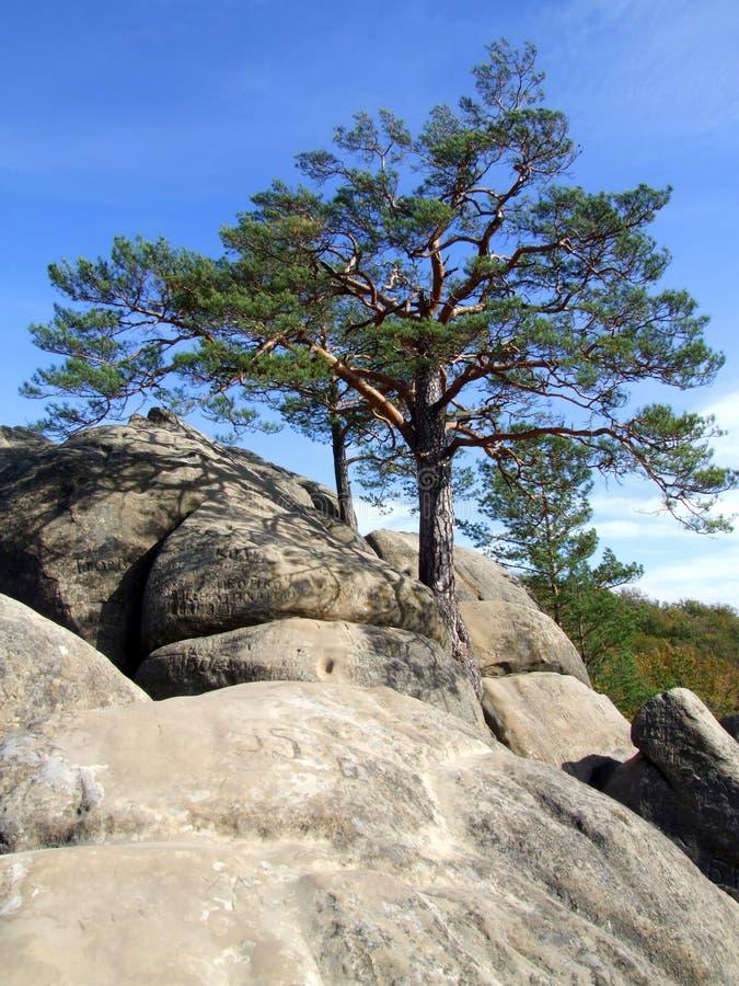 Arbre de pin sur la roche photos stock
