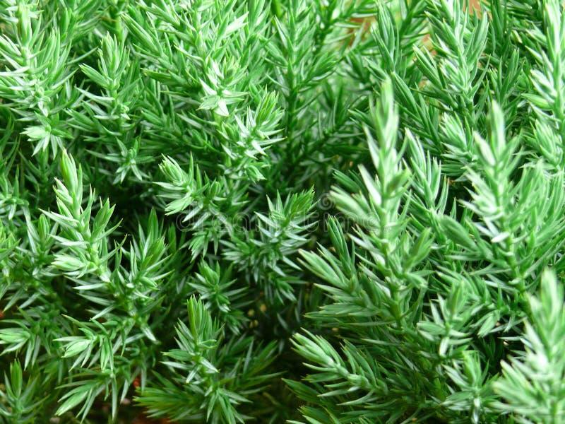 arbre de pin vert frais de branchement photographie stock