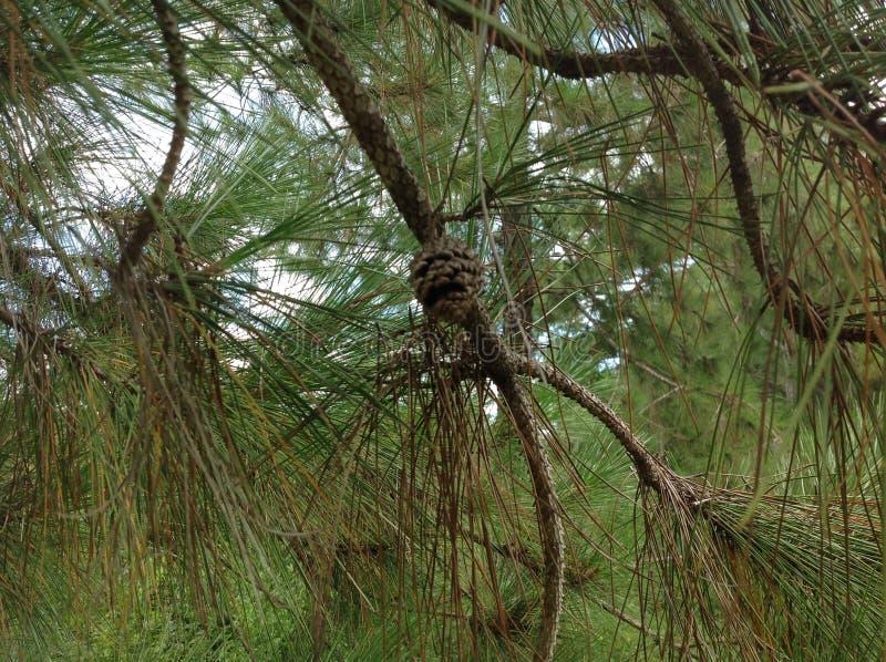 Arbre de pinus sur la marge de rivière images libres de droits