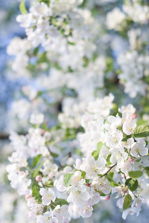 Arbre de pomme sauvage de floraison de Bouqet de source de natures image stock