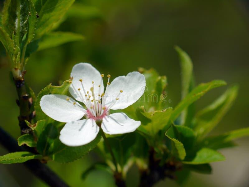 Arbre de prunellier dans la fleur photographie stock libre de droits