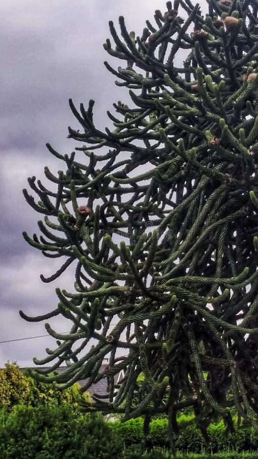 Arbre de puzzle de singe d'araucana- d'araucaria image libre de droits