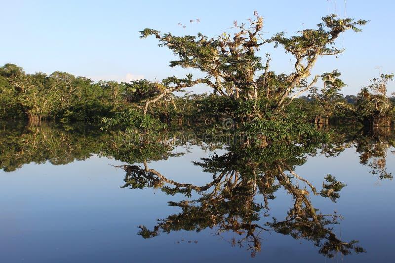 Arbre de Refclecting dans la lagune du parc national de cuyabeno en Equateur photo libre de droits