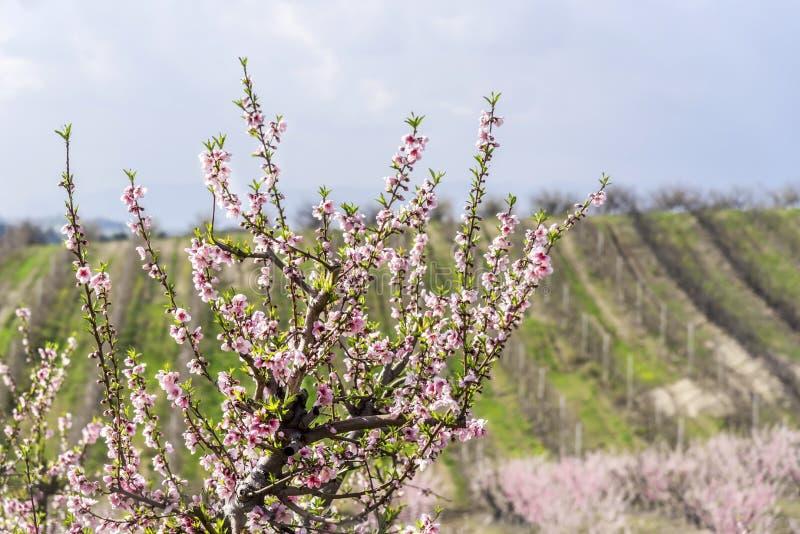 arbre de Ressort-floraison devant l'arbre de nectar classé, extérieur, fin  photo stock