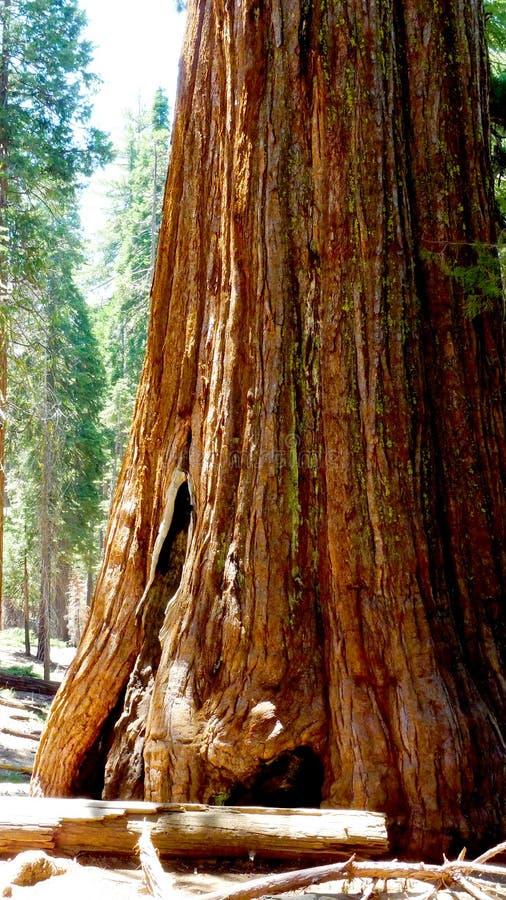 Arbre de séquoia géant en Californie photo stock