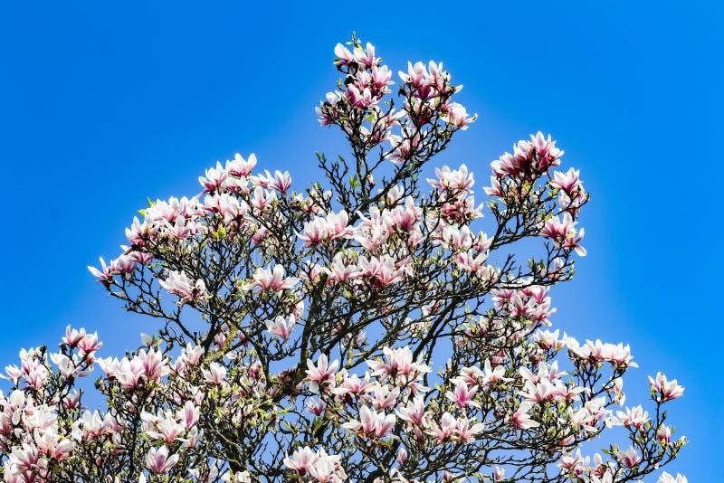 Arbre de Sakura avec les feuilles de rose et le ciel bleu lumineux à l'arrière-plan photographie stock