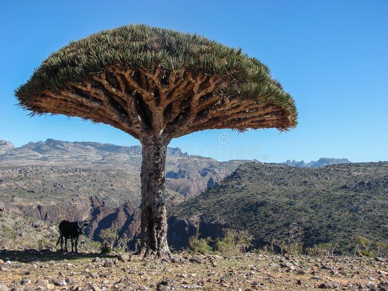 Arbre de sang de dragons sur l'île d'île de Socotra - Yémen photos libres de droits