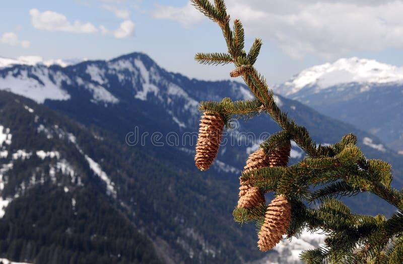 arbre de sapin de branchement photos stock