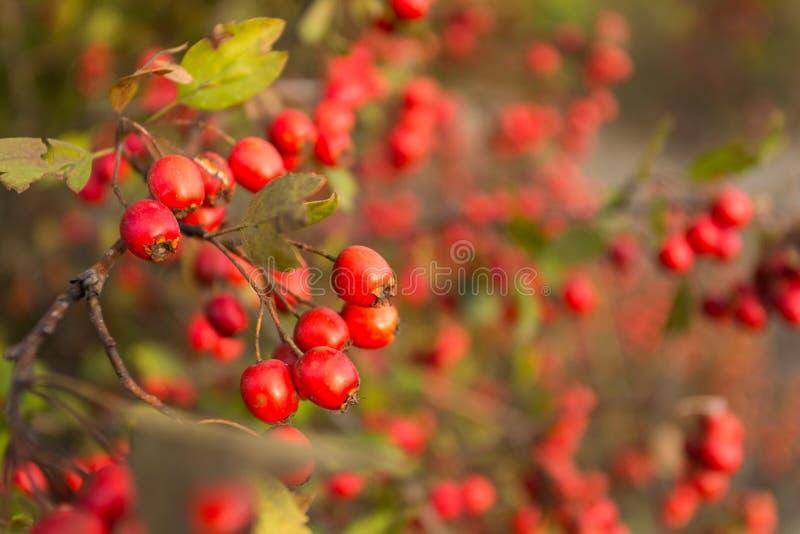 Arbre de sorbe à la forêt d'automne image stock