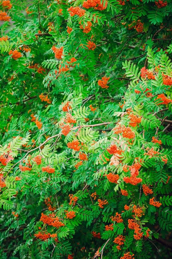 Arbre de sorbe rouge avec des fruits beau normal de fond Photo verticale photographie stock