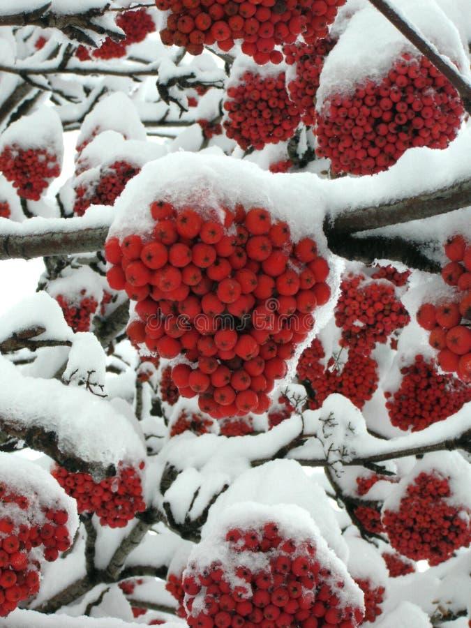 Arbre de sorbe sous la neige images stock