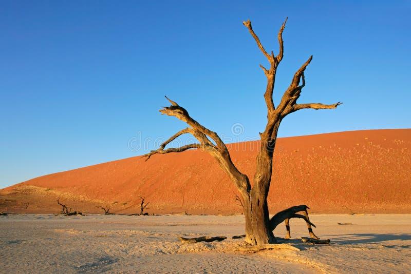 arbre de sossusvlei de la Namibie de dune photo stock