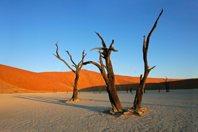 arbre de sossusvlei de la Namibie de dune photos libres de droits