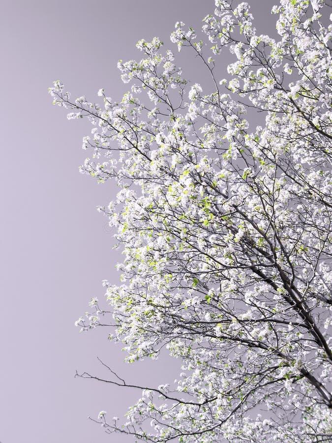 Arbre de source en fleur photos libres de droits