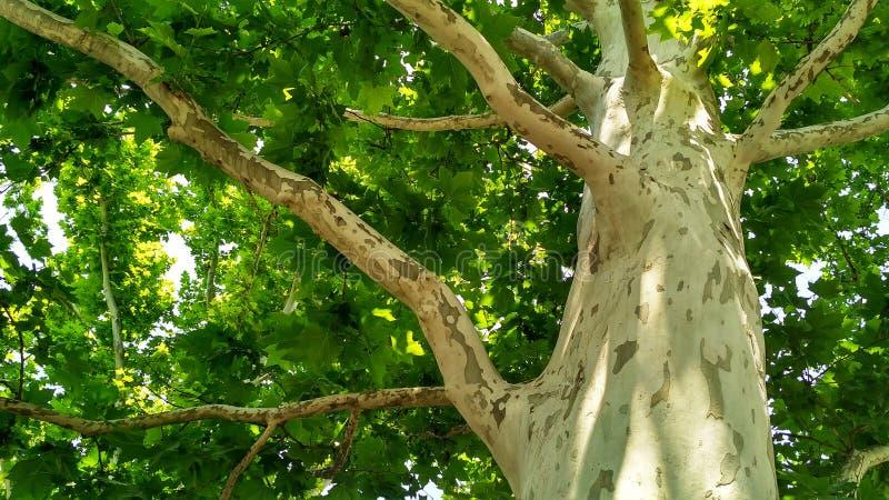 Arbre de sycomore Orientalis de Platanus Tronc d'arbre plat repéré sous sunlight_6 photographie stock libre de droits
