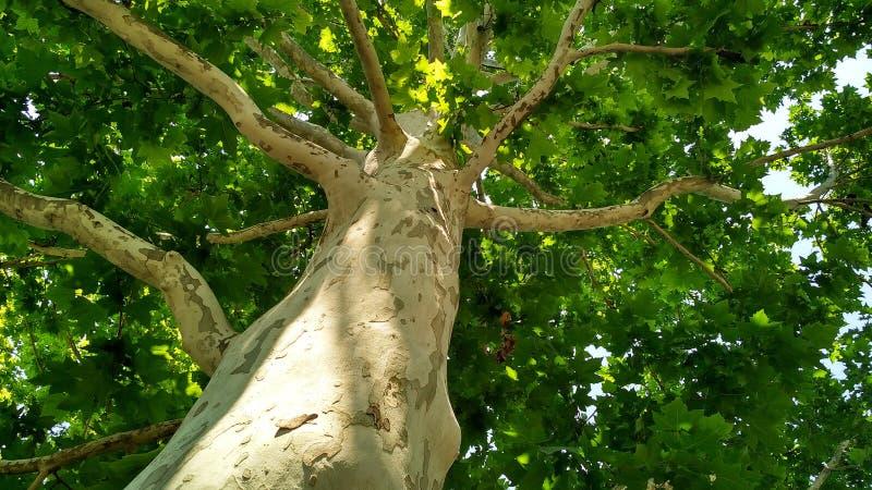 Arbre de sycomore Orientalis de Platanus Tronc d'arbre plat repéré sous sunlight_7 photos libres de droits