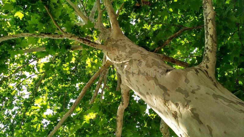 Arbre de sycomore Orientalis de Platanus Tronc d'arbre plat repéré sous sunlight_8 image libre de droits