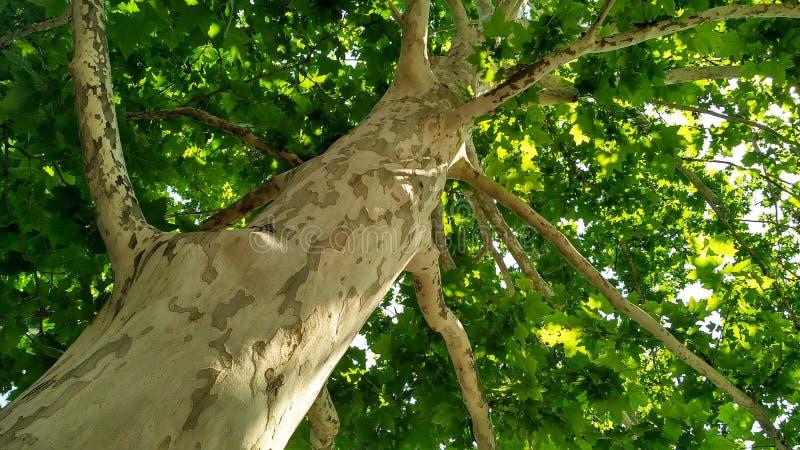 Arbre de sycomore Orientalis de Platanus Tronc d'arbre plat repéré sous sunlight_9 photos libres de droits