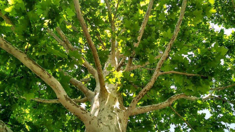 Arbre de sycomore Orientalis de Platanus Tronc d'arbre plat repéré sous sunlight_10 images stock