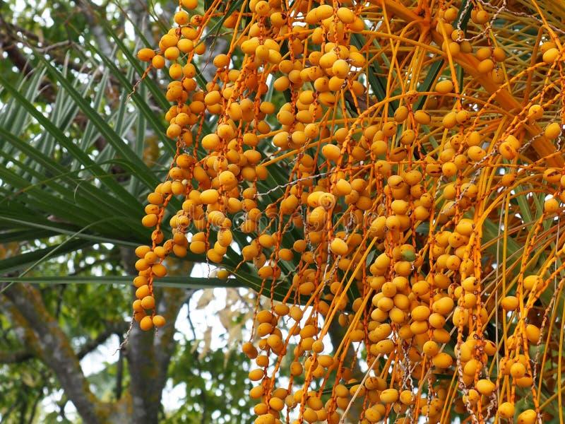 Arbre de tamarinier ou tamarindus indica avec des cosses photos stock