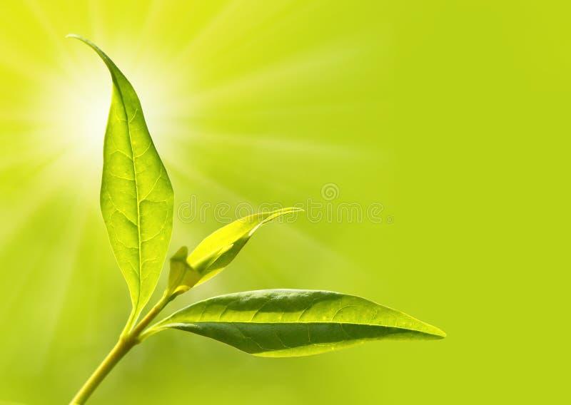 Arbre de thé (sinensis de Thea) photographie stock