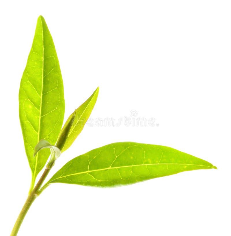 Arbre de thé (sinensis de Thea) images stock