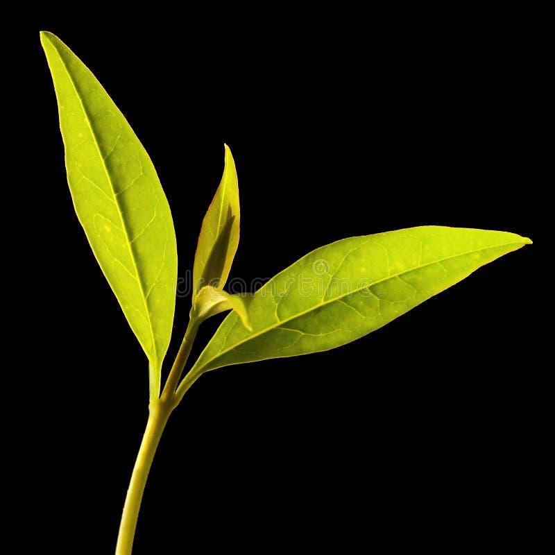 Arbre de thé (sinensis de Thea) photos libres de droits