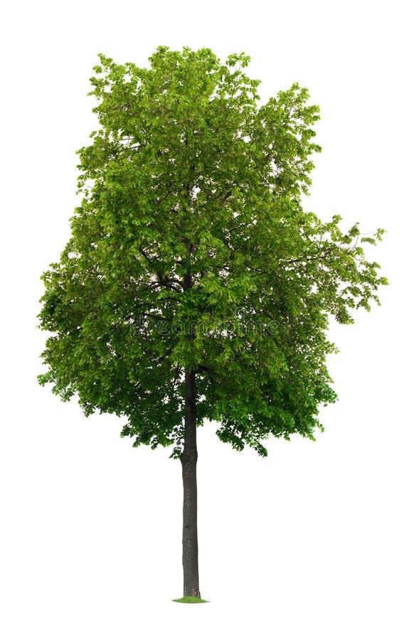 arbre de tilleul image libre de droits
