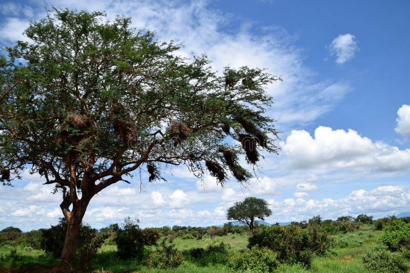 Arbre de tortilis de Vachellia et la nature intacte à la savane africaine photographie stock libre de droits