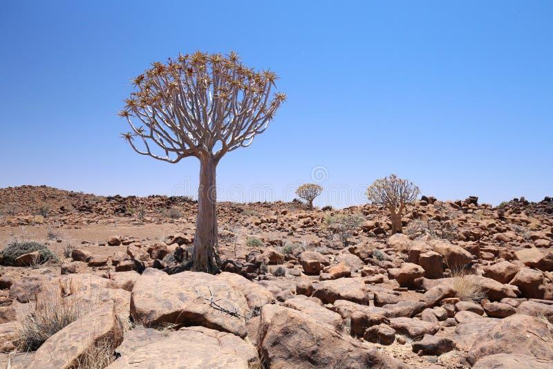 Arbre de tremblement, Namibie photographie stock libre de droits