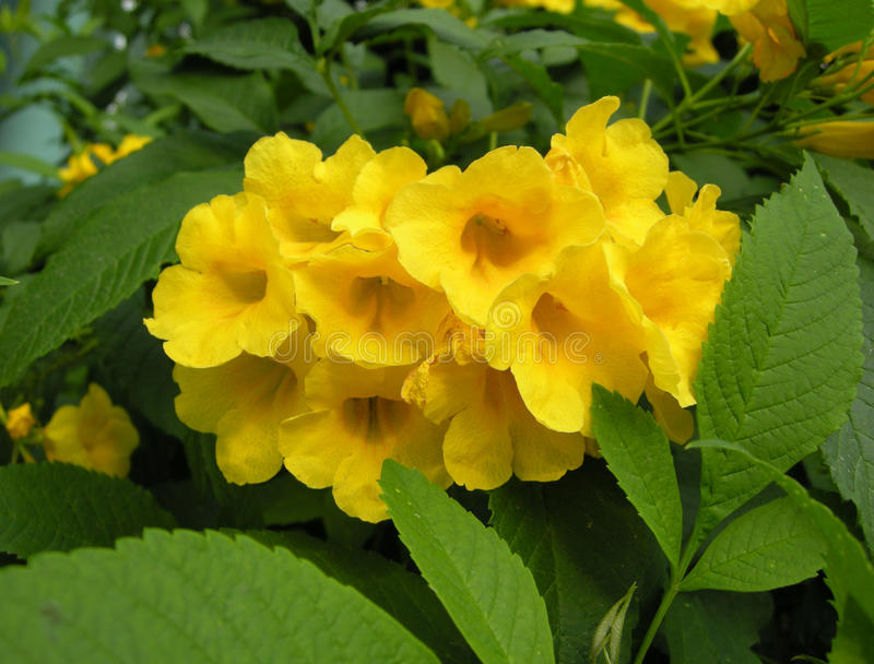 Arbre de trompette d'or (chrysantha de Tabebuia) images stock