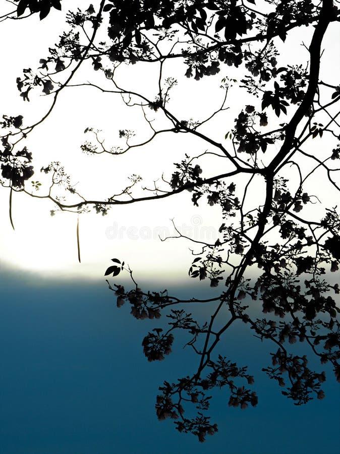 Arbre de trompette rose en silhouette au coucher du soleil photos libres de droits