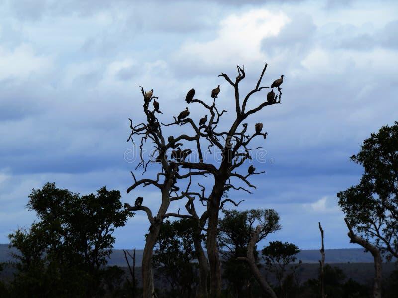 Arbre de vautour photo stock