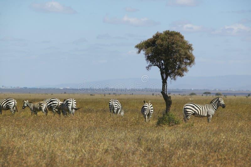 Arbre de zèbre et d'acacia en parc national de Nairobi, Nairobi, Kenya, Afrique photographie stock