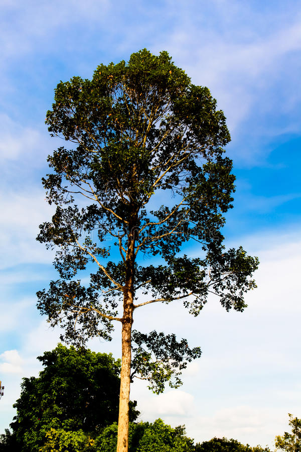 arbre debout naturel de dipterocarpus image stock image du frais jardin 64955885. Black Bedroom Furniture Sets. Home Design Ideas