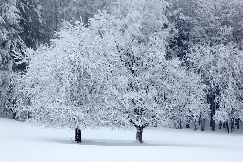 Arbre deux solitaire en hiver, paysage neigeux avec la neige et brouillard, forêt blanche dans le backgroud photographie stock libre de droits